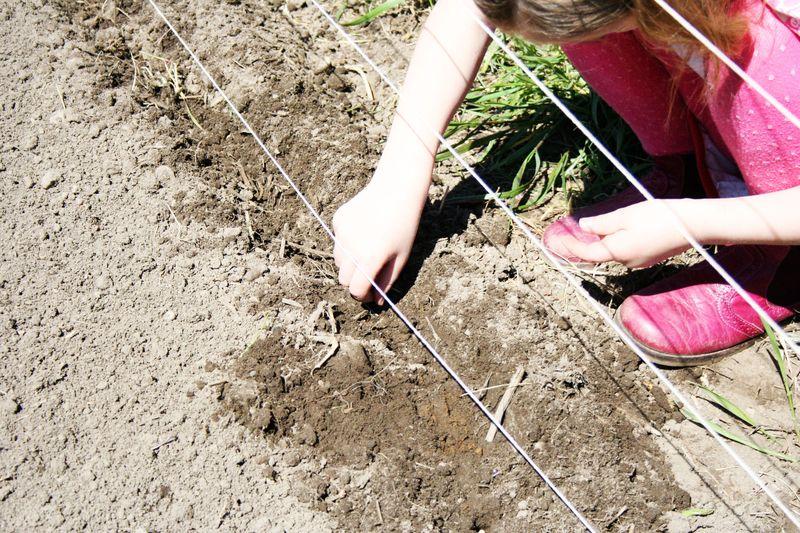 planting peas, spring garden