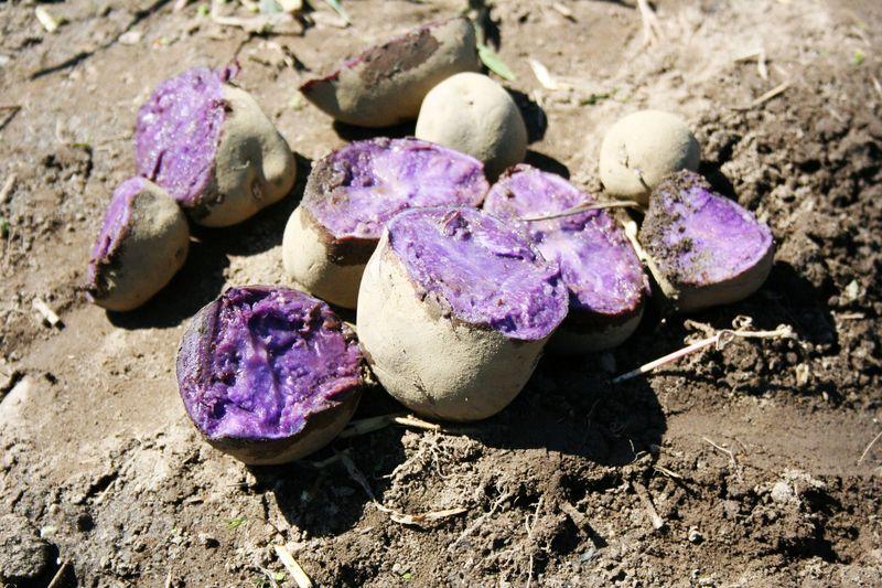 purple adirondack potatoes