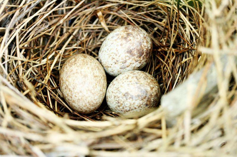 Cardinal eggs