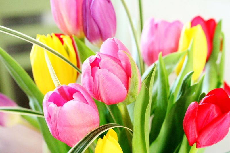 Tulips from dawn